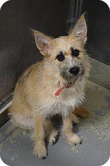 Norfolk Terrier Mix Dog for adoption in Lebanon, Missouri - TipToe