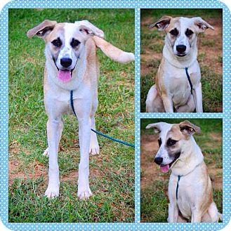 Anatolian Shepherd Mix Dog for adoption in Westmoreland, Kansas - Rissa