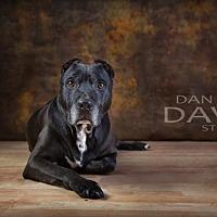 American Staffordshire Terrier/Labrador Retriever Mix Dog for adoption in Brooklyn Center, Minnesota - Wall-e
