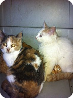 Calico Kitten for adoption in Sebring, Florida - Nadia
