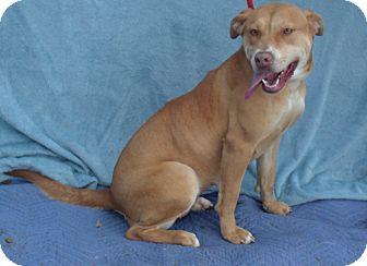 Labrador Retriever/Redbone Coonhound Mix Dog for adoption in Snohomish, Washington - Precious, super sweet lab mix