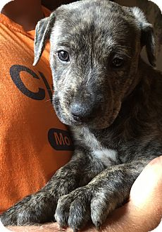 Weimaraner/Wirehaired Pointing Griffon Mix Puppy for adoption in Niagara Falls, New York - Sirus (6 lb) Video!