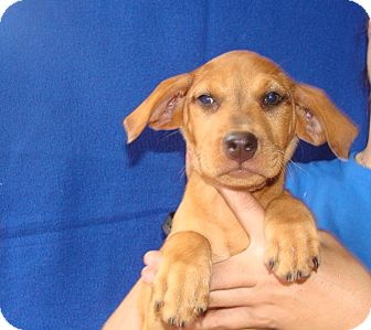 Labrador Retriever/Golden Retriever Mix Puppy for adoption in Oviedo, Florida - Kaa