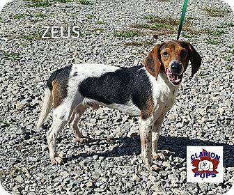 Beagle Dog for adoption in Strattanville, Pennsylvania - ZEUS