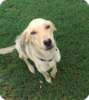 German Shepherd Dog Mix Dog for adoption in Apache Junction, Arizona - Diamond