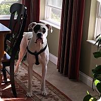 Adopt A Pet :: Patch Adams - Dayton, OH