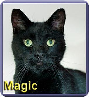 Domestic Shorthair Cat for adoption in Aldie, Virginia - Magic