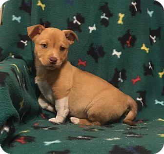 Corgi/Terrier (Unknown Type, Medium) Mix Puppy for adoption in Hagerstown, Maryland - Frappe