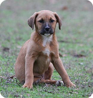 Shepherd (Unknown Type)/Labrador Retriever Mix Puppy for adoption in Allentown, New Jersey - Chamaree