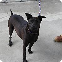 Adopt A Pet :: Violet - Greensboro, NC