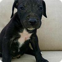 Adopt A Pet :: Elvis - Manhattan Beach, CA