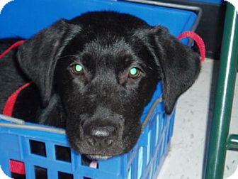 Labrador Retriever Puppy for adoption in Cantonment, Florida - Puppy