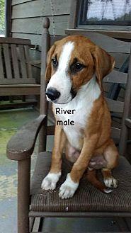Hound (Unknown Type) Puppy for adoption in Little Rock, Arkansas - River Van Marion