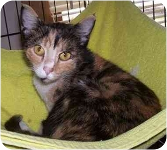 Domestic Shorthair Cat for adoption in Chester, Vermont - Cranberry