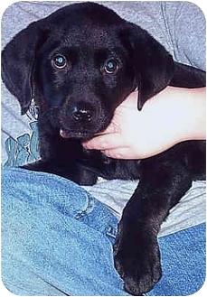 Labrador Retriever Mix Puppy for adoption in Owatonna, Minnesota - Ruger