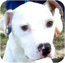 Pit Bull Terrier Mix Dog for adoption in Troy, Michigan - Gracie
