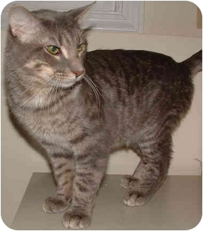 Domestic Shorthair Cat for adoption in Mt. Prospect, Illinois - King Tut