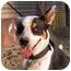 Photo 1 - Australian Kelpie Mix Dog for adoption in San Pedro, California - RAZZIE