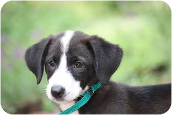 Labrador Retriever/Collie Mix Puppy for adoption in West Milford, New Jersey - CHANEL