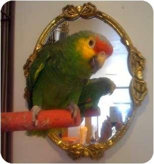 Amazon for adoption in Lenexa, Kansas - Pretty Bird