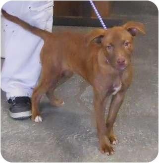 Terrier (Unknown Type, Medium) Mix Puppy for adoption in Belvidere, Illinois - Tedros