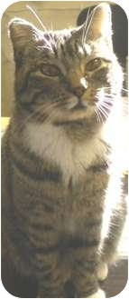 Domestic Shorthair Cat for adoption in Charles City, Iowa - Cubby