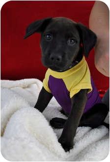 Labrador Retriever Puppy for adoption in Corpus Christi, Texas - Lacey
