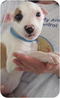American Bulldog/English Pointer Mix Puppy for adoption in Newberry, South Carolina - Leory