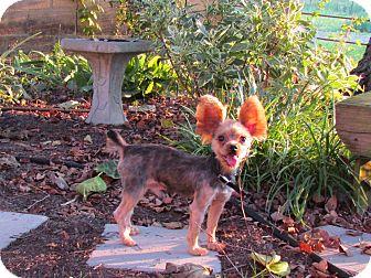 Yorkie, Yorkshire Terrier Dog for adoption in Bedminster, New Jersey - Rikko