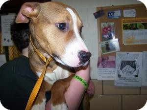 Pit Bull Terrier Mix Puppy for adoption in Sidney, Ohio - Titan
