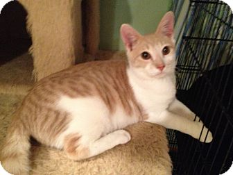 Domestic Shorthair Cat for adoption in East Hanover, New Jersey - Milky Way - Lap Kitty