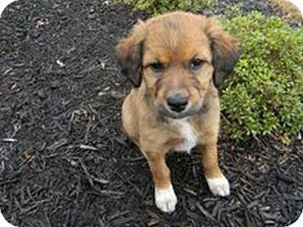 Australian Shepherd/Golden Retriever Mix Puppy for adoption in Marietta, Georgia - Ashley