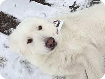 Great Pyrenees Dog for adoption in Bloomington, Illinois - Pepin ADOPTION PENDING