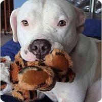 Adopt A Pet :: Kona - Fort Lauderdale, FL