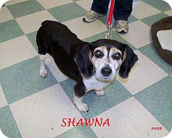 Beagle Dog for adoption in Ventnor City, New Jersey - SHAWNA