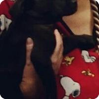 Adopt A Pet :: Isaac - great shlab puppy! - Phoenix, AZ