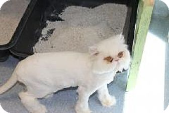 Persian Cat for adoption in El Cajon, California - JoJo