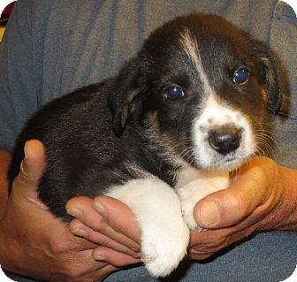 Border Collie Mix Puppy for adoption in Greenville, Rhode Island - Paxson