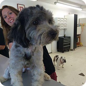 Poodle (Miniature) Mix Dog for adoption in Thousand Oaks, California - Buddy