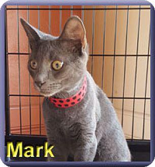 Domestic Shorthair Kitten for adoption in Aldie, Virginia - Mark