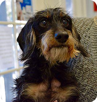 Dachshund Dog for adoption in Gainesville, Florida - Mellow