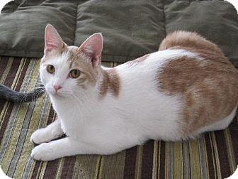 Domestic Shorthair Cat for adoption in Lansing, Kansas - Rusty