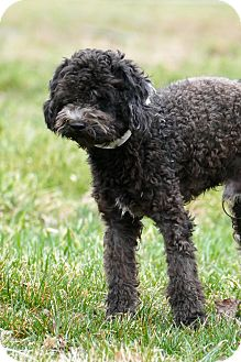 Poodle (Miniature) Mix Dog for adoption in Pennigton, New Jersey - Coby