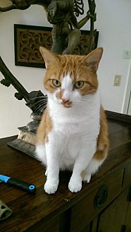 Domestic Shorthair Cat for adoption in Naples, Florida - Rapture