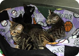 Domestic Shorthair Kitten for adoption in Erwin, Tennessee - Pugsly