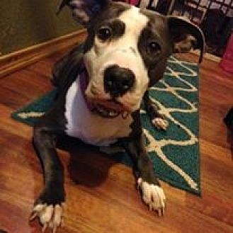 Pit Bull Terrier Mix Dog for adoption in Centerburg, Ohio - Diamond