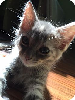 Domestic Shorthair Kitten for adoption in Chicago, Illinois - Squirtle