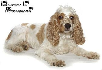 Cocker Spaniel Dog for adoption in Fort Lauderdale, Florida - Sofie