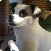 Adopt A Pet :: Bandit (COURTESY POST) - Baltimore, MD