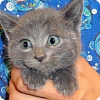 Domestic Shorthair Kitten for adoption in Wildomar, California - 348728